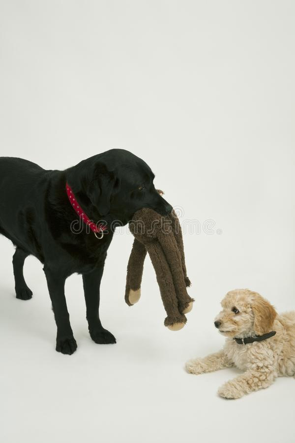 An elderly black labrador waits patiently while A cute Cockapoo puppy tries to take her soft toy away. An elderly black labrador waits patiently while a cute 12 royalty free stock photo