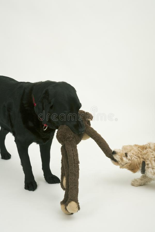 An elderly black labradorwaits patiently while A cute Cockapoo puppy tries to take her soft toy away. An elderly black labradorwaits patiently while a cute 12 royalty free stock photos