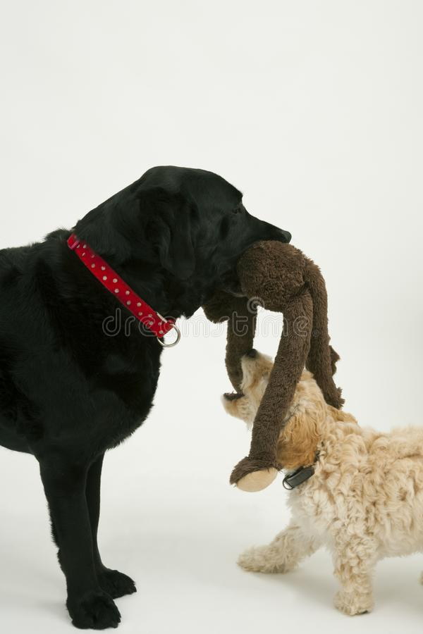 An old black labrador waits as a Cockapoo puppy tries to take a toy away. An elderly black labradorwaits patiently while a cute 12 week old Cockapoo puppy bitch royalty free stock images