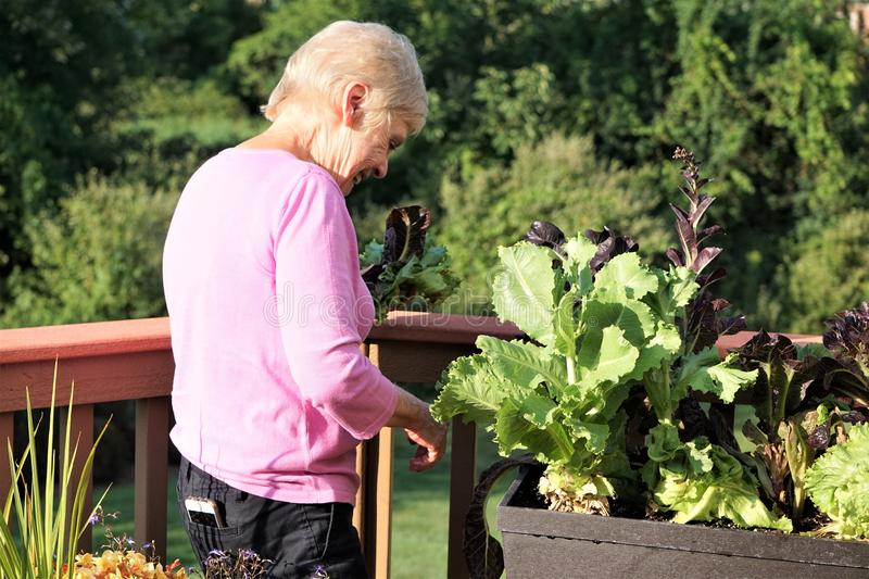Elderly blond woman grows leafy greens vegetables stock images