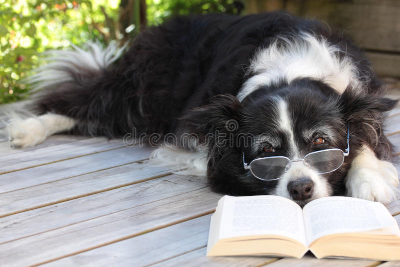 Elderly Border Collie Dog Relaxing with a book. Elderly border collie dog relaxing on the deck with spectacles on and a book stock images