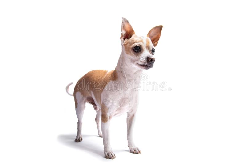 Elderly chihuahua dog isolated on a white background. Dog at studio, dog school and veterinarian concept royalty free stock image