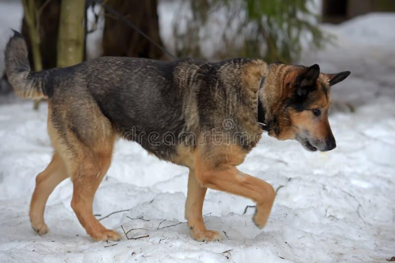 Elderly dog half-breed shepherd. In winter royalty free stock photos