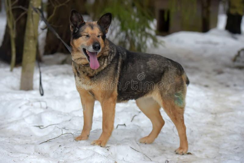 Elderly dog half-breed shepherd. In winter stock photos
