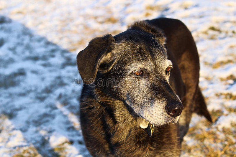 Elderly Dog in the Winter royalty free stock images