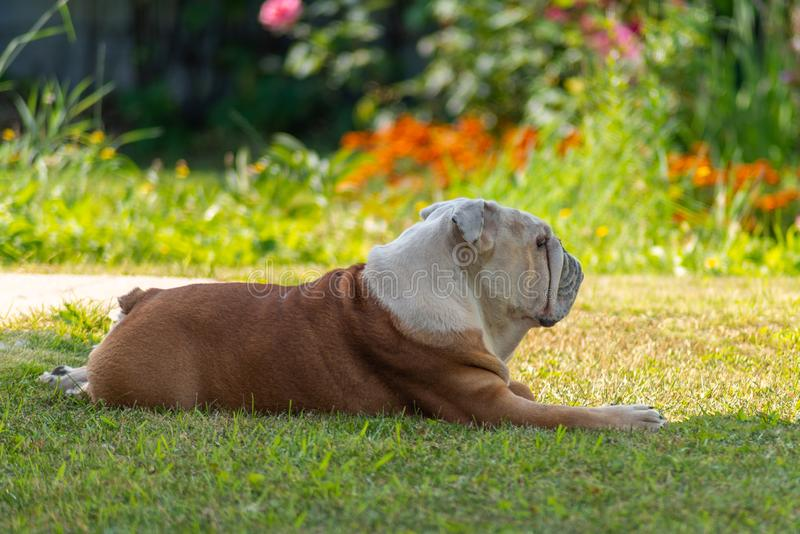Elderly english bulldog resting in the shade on the grass. A powerful elderly male English Bulldog with a deadpan look will come from the bright sun in the shade stock image