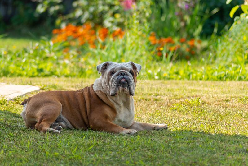 Elderly english bulldog resting in the shade on the grass. A powerful elderly male English Bulldog with a deadpan look will come from the bright sun in the shade stock photography