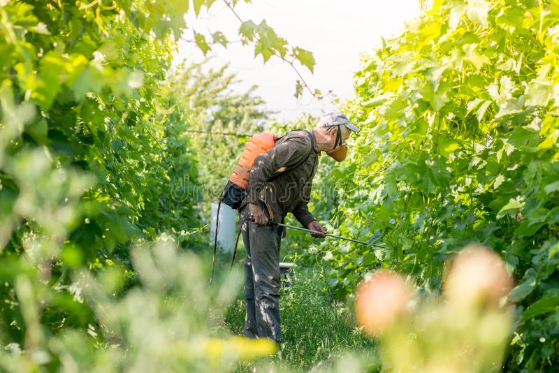 Elderly farmer spraying vineyar stock photography