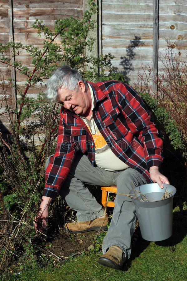 Elderly gardener sitting and weeding the garden. An elderly man sitting on a stool in the garden and weeding stock images