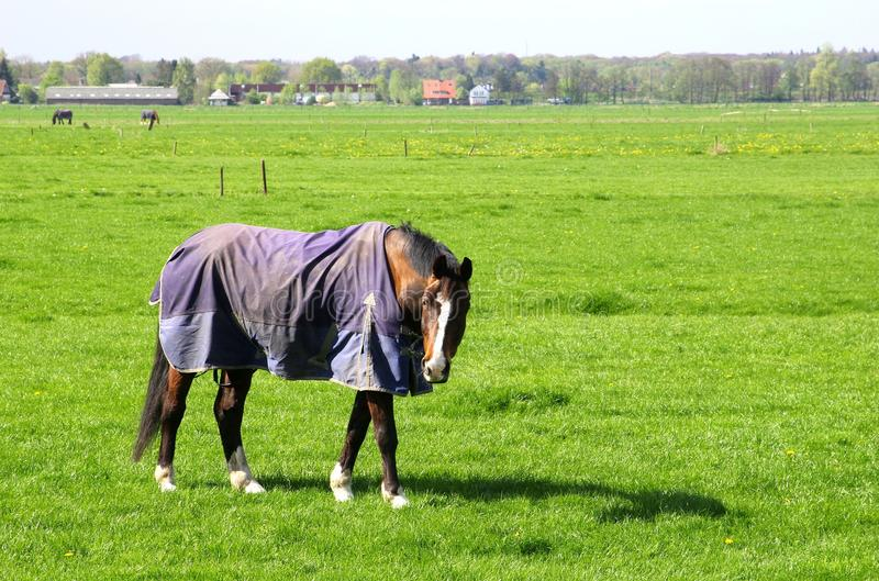 Elderly horse with a blanket is retired after a long life of hard working stock image