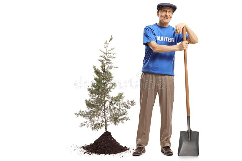 Elderly male volunteer with a shovel planting a tree stock photo