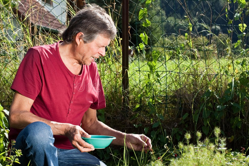 Elderly man collecting strawberries in his garden. Senior man gather wild strawberries in his garden royalty free stock images