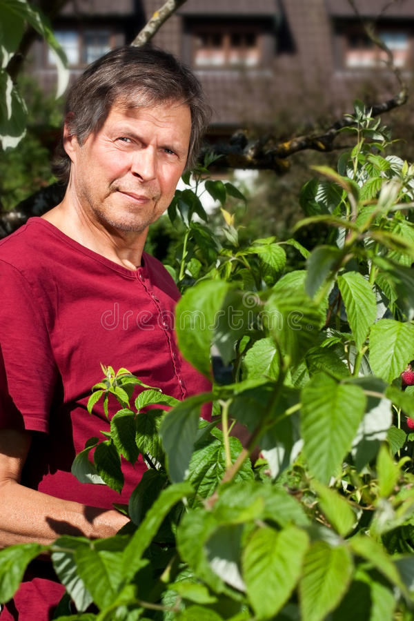 Elderly man in his garden harvest raspberries. Older man in his garden picking raspberries royalty free stock image