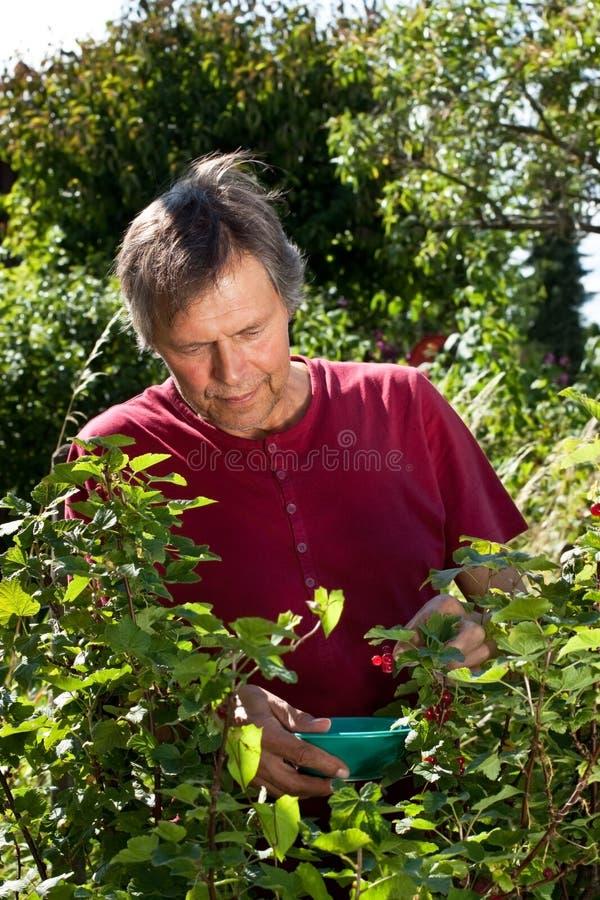 Elderly man in his garden harvest red currants. Older man in his garden picking red currants stock photos