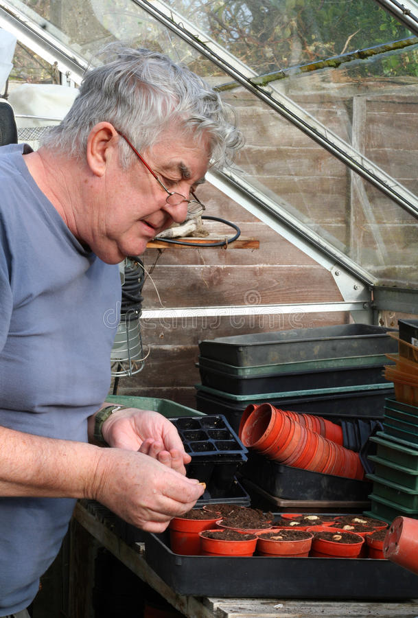 Elderly man sowing seeds in greenhouse. Elderly man sowing broad bean seeds into pots of compost in a greenhouse during the spring stock photography