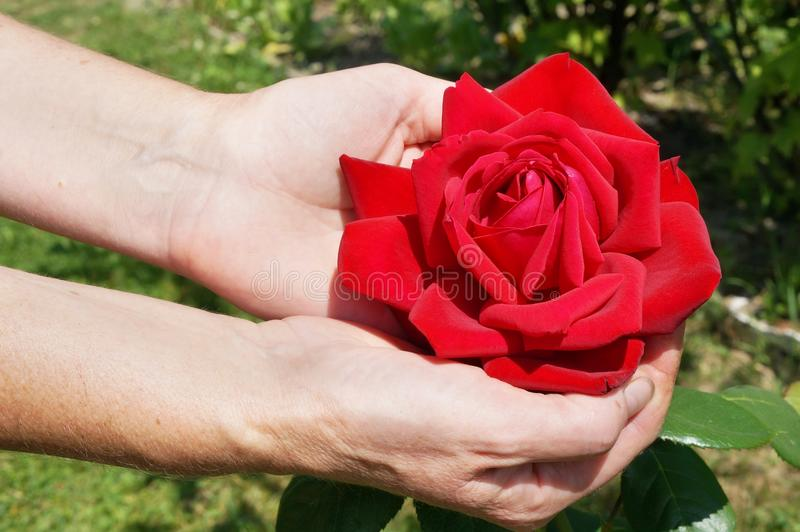 An elderly peasant village woman holds a huge red rose flower stock images