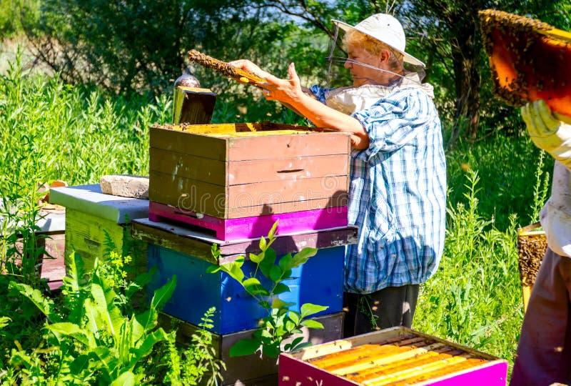 Elderly woman apiarist, beekeeper is working in apiary stock photo