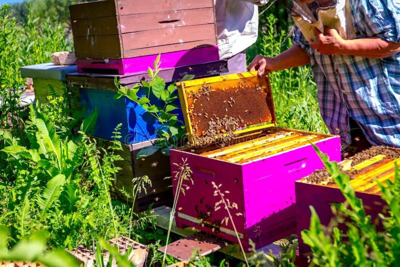 Elderly woman apiarist, beekeeper is working in apiary stock image