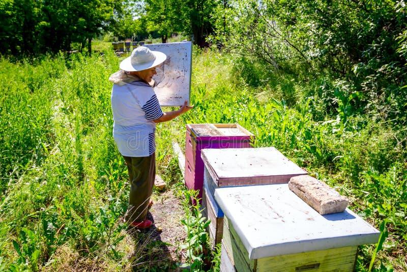 Elderly woman apiarist, beekeeper is working in apiary royalty free stock photo