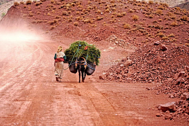 An old woman carries on her donkey herb in the atlas mountains in Morocco. Morocco Atlas mountains. A barber woman walking on the red dirt road. Just one hundred royalty free stock images