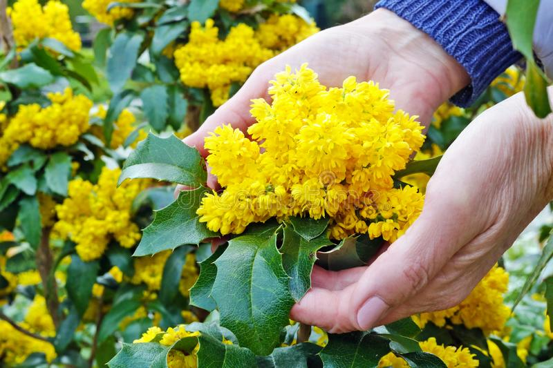 An elderly woman  gently hold in hand  a first spring yellow Holly flowers. An elderly woman  gently hold in hand  a first spring yellow Holly plant flowers stock image