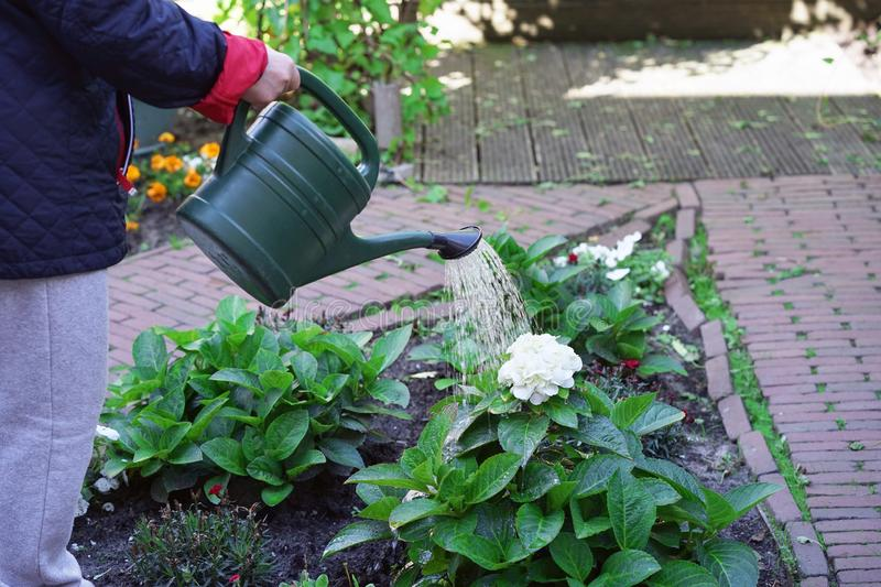 An elderly woman is watering flowers in her garden royalty free stock images