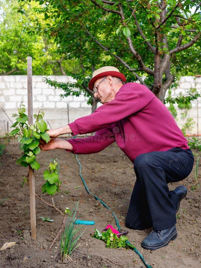 Eldery sup?rieur de vieil homme entretenant le buisson de raisin dans son jardin images libres de droits