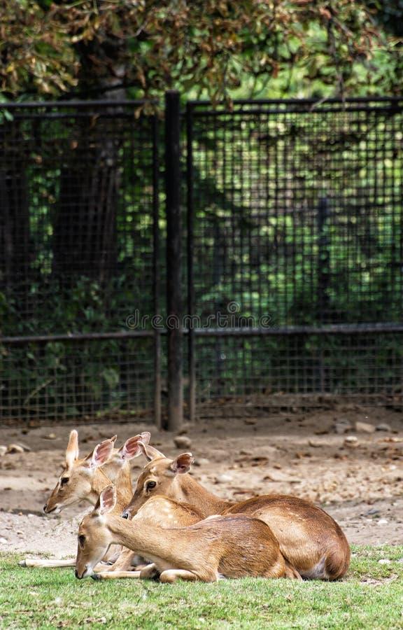 Elds hjortar (den Panolia eldiien), djur plats royaltyfri fotografi