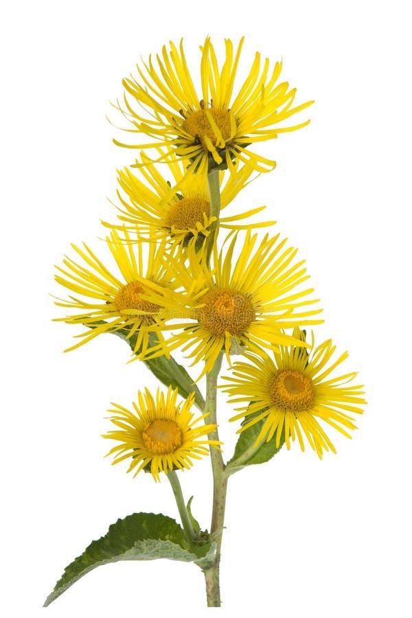 Elecampane; blossom; Inula helenium stock images