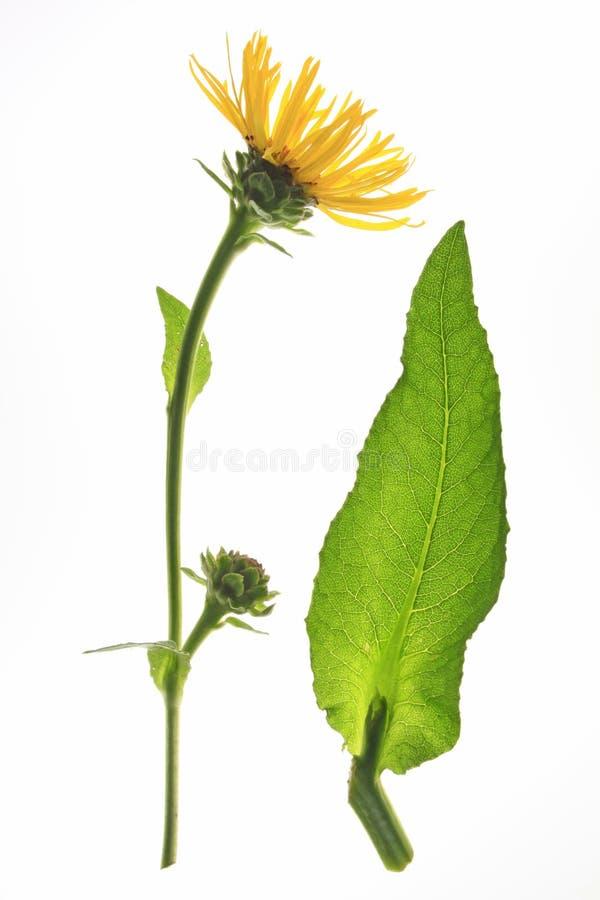 Elecampane (Inula helenium) stock image