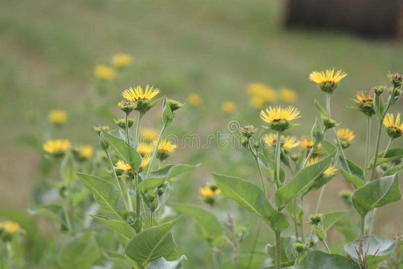 Elecampane Inula helenium. Yellow flowers of medicinal plant Elecampane Inula helenium or horse-heal in bloom stock photography