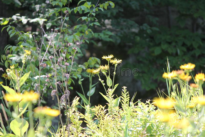 Elecampane Inula helenium. Yellow flowers of medicinal plant Elecampane Inula helenium or horse-heal in bloom royalty free stock images