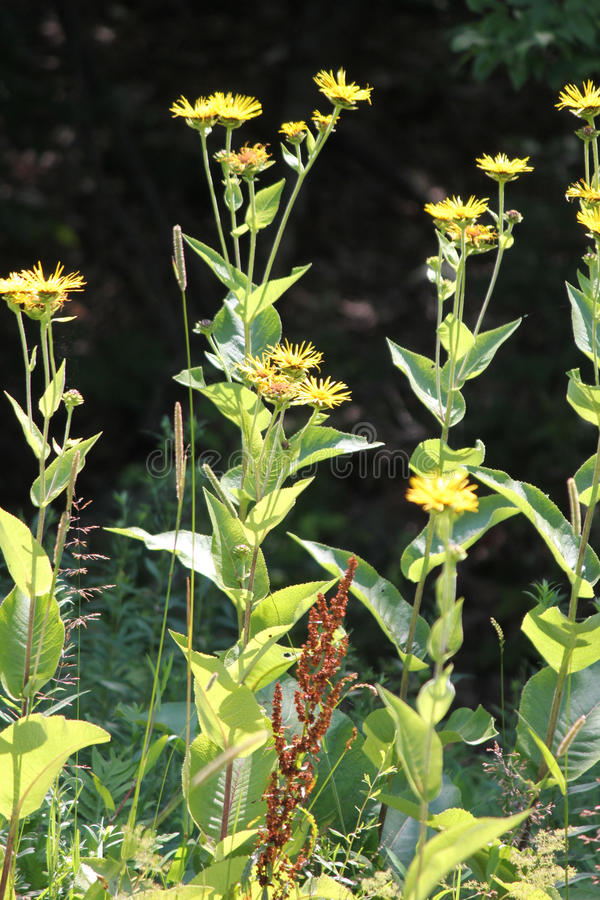 Elecampane Inula helenium. Yellow flowers of medicinal plant Elecampane Inula helenium or horse-heal in bloom stock photo