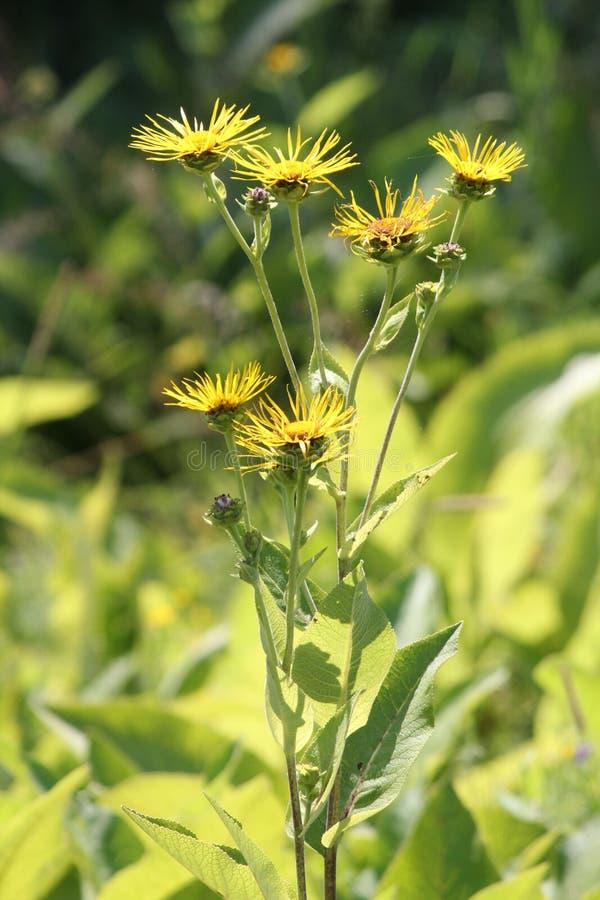 Elecampane Inula helenium. Yellow flowers of medicinal plant Elecampane Inula helenium or horse-heal in bloom stock image
