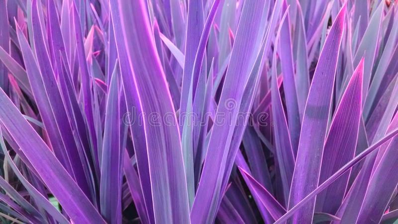 Electric cordyline royalty free stock images