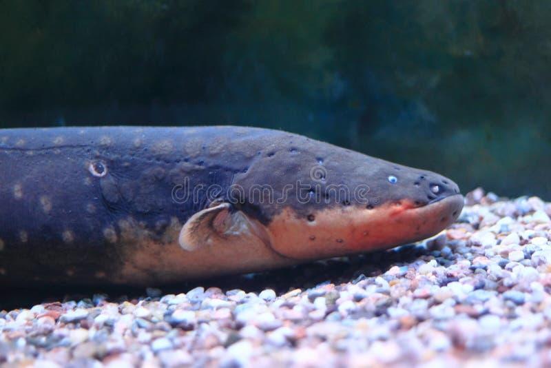 Electric eel stock photography