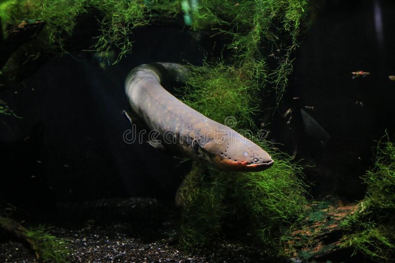 Electric eel swam out from behind the algae. An electric eel emerges from the algae. Visible his head, fins, eye. It`s dark in the background royalty free stock images