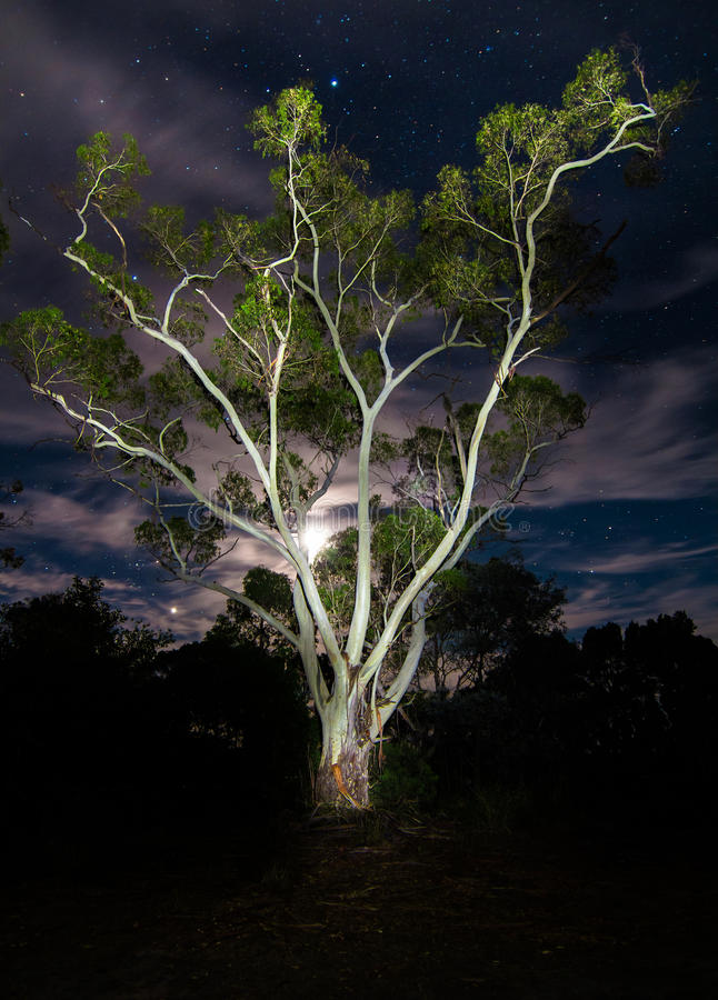 Electric Gum Tree. This large Eucalypt tree is intensely illuminated with a strong LED light over 30 seconds, and is framed in front of an intense moon royalty free stock images