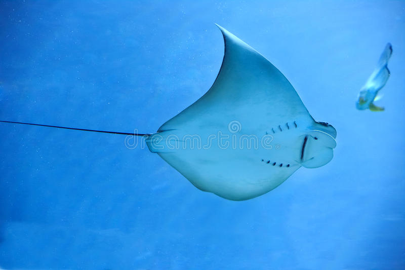 Electric ray fish in ocean stock image image of ocean for Sea ray fish