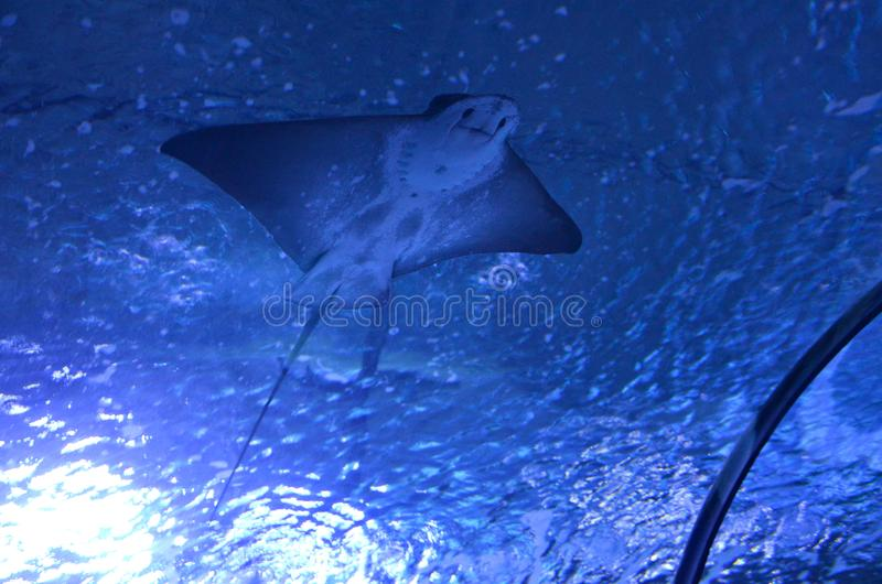 electric Stingray. cute. smile royalty free stock photography