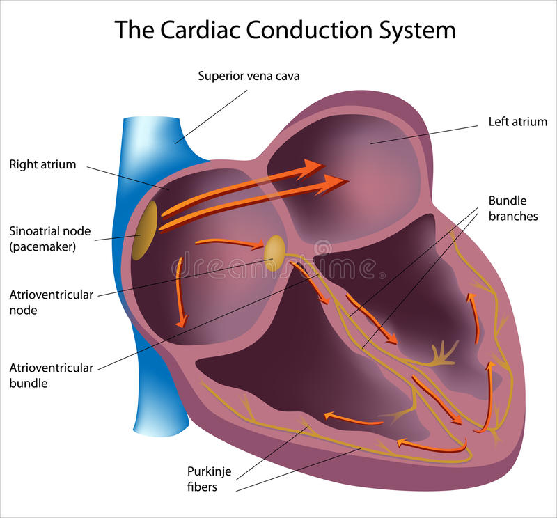 Electrical pathways of the heart. Heart cross section with electrical activity , eps8