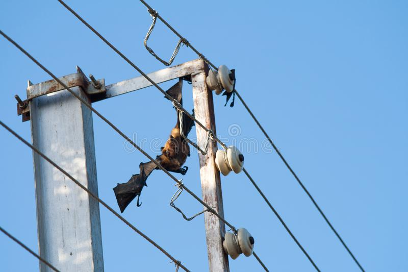 Electrocuted and Dead fruit bat stuck in the live wires. Electrocuted and Dead fruit bat stuck in the live electricity wires royalty free stock photography