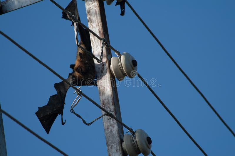 Electrocuted and Dead fruit bat stuck in the live wires. Electrocuted and Dead fruit bat stuck in the live electricity wires stock photo