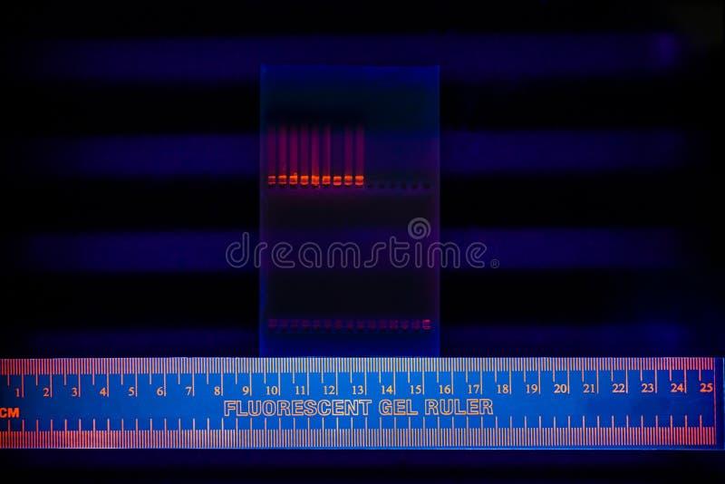 Electrophoregram de la separación de la DNA fotografía de archivo libre de regalías