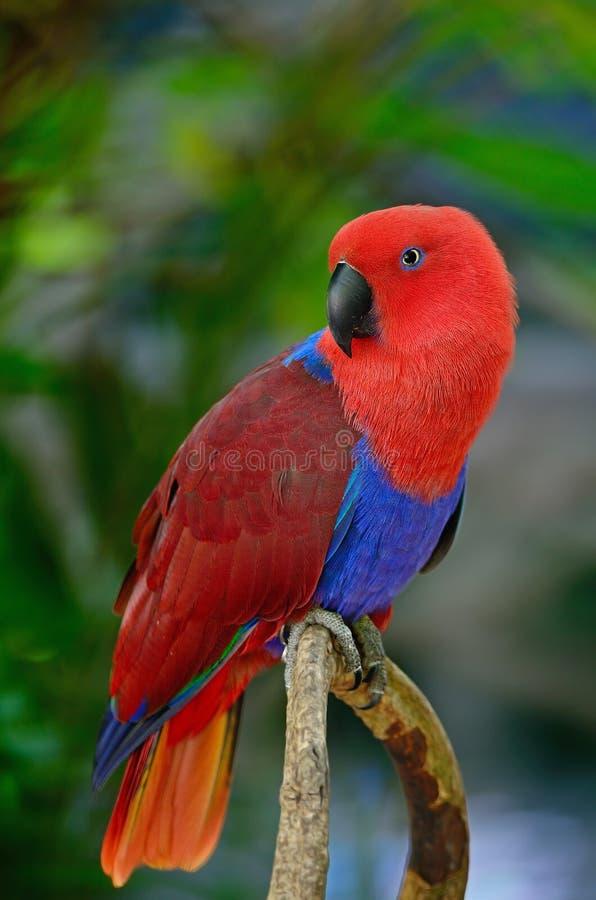 Electus-Papagei lizenzfreies stockfoto