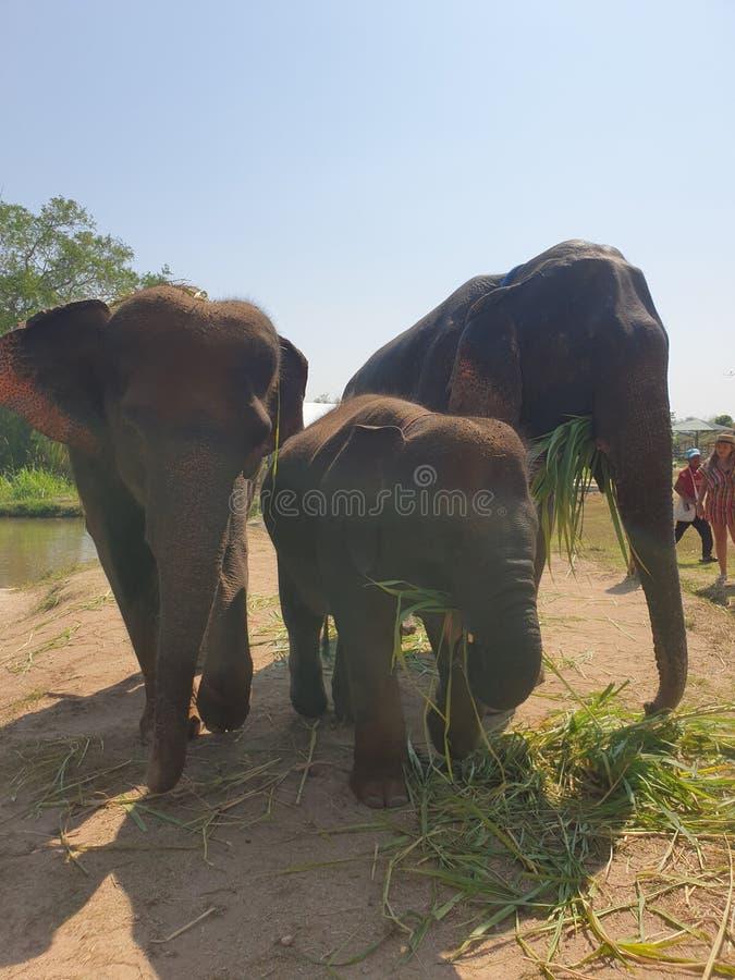 Elefant大象家庭婴孩退休公园清迈泰国 库存图片