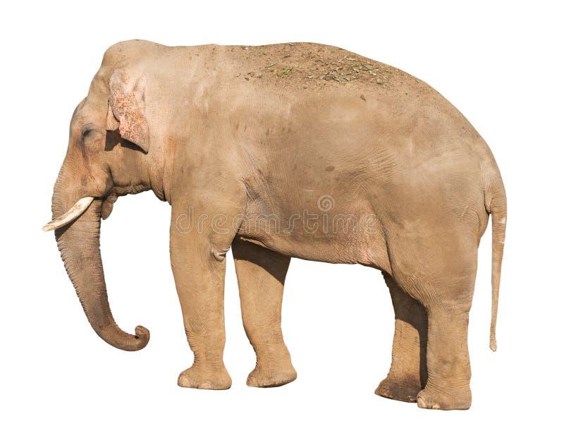 Elefant royalty free stock image