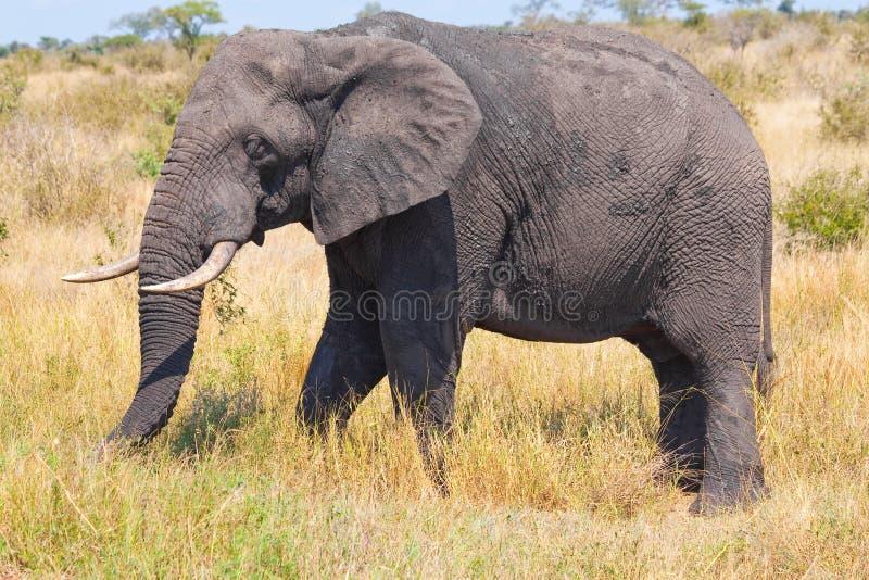 Elefant lizenzfreie stockfotos