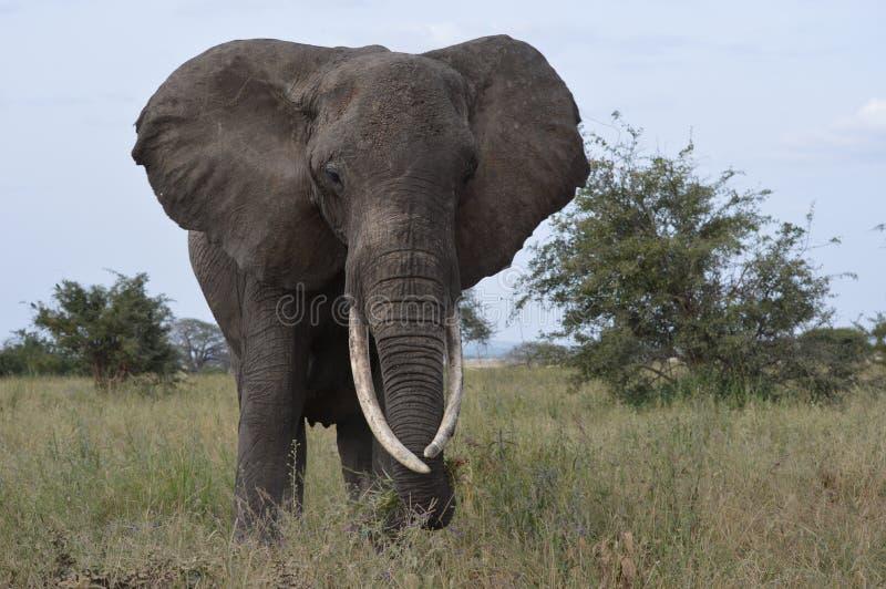 Elefant 3 royaltyfri bild