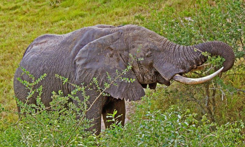 Elefant 1 stockbild
